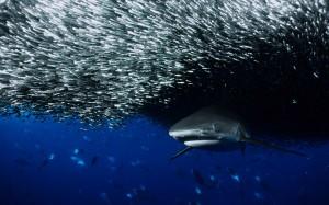 fish_ocean_sharks_wallpaper-8966